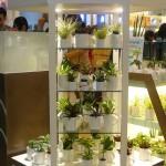 Miura plants